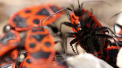Black-And-Red-Bug Stock Footage