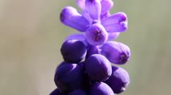 Grape Hyacinth Stock Footage