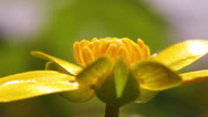 Stock Video Footage of Lesser celandine