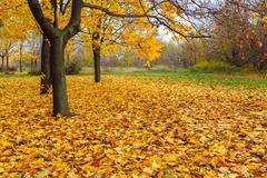 Stock Photo of yellow maple trees