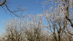 Apricot Orchard - stock footage