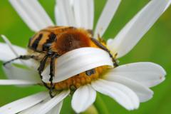 Bee beetle - stock photo