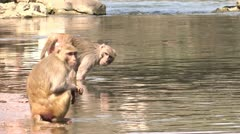 Swimmer Monkey Stock Footage