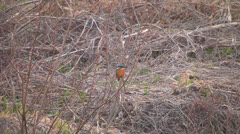 Kingfisher3,River,Shore Stock Footage