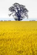yellow field with oil seed rape - stock photo