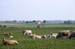 Cow grazing Stock Photos