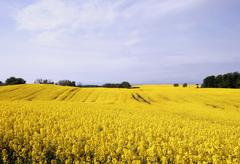 Yellow field with oil seed rape in early spring Stock Photos