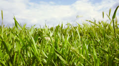Filming along a meadow with green grass and cloudy sky - stock footage