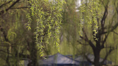 A breeze blowing willow shoots Stock Footage