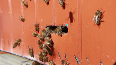 Bees flying into and from the beehive. Close up. Stock Footage
