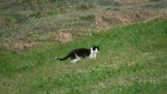 Cat hunting in a meadow Stock Footage