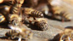 Dead honey bee at the entrance of the beehive. Macro shot. Stock Footage