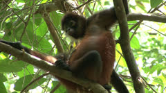 P02704 Geoffroy Spider Monkey Mom and Child Stock Footage