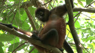 Stock Video Footage of P02704 Geoffroy Spider Monkey Mom and Child