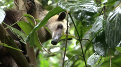 P02706 Tamandua Anteater in Rainforest Stock Footage