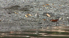 P02709 Spotted Sandpiper in Costa Rica Stock Footage