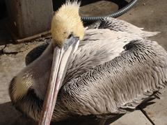Brown Pelican 1 - stock photo