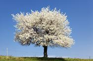 Stock Photo of the big white tree