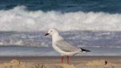 Seagull, bodyboard wipe out in background Stock Footage