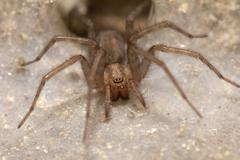 Stock Photo of funnel web weaver grass spider out on his funnel web