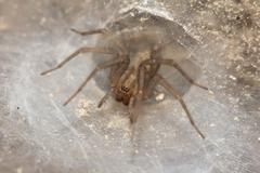 funnel web weaver grass spider out on his funnel web - stock photo