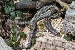 2 adder snakes - stock photo