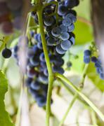 Wine Grapes on the Vine - stock photo