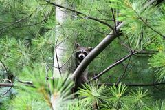 Racoon  in a pine tree - stock photo