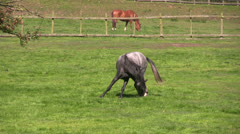 Grey horse nibbles at its left hoof and fetlock Stock Footage