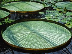 exotic water lilies leaves - stock photo