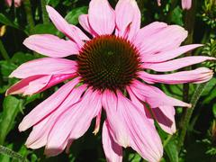 Beautiful echinacea close up Stock Photos