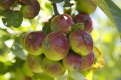 Baby Apples Hanging - stock photo
