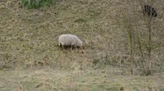 Grazing sheep Stock Footage