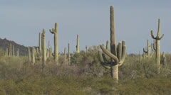 P02726 Saguaro Cactus in the Desert Southwest Stock Footage
