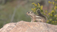 P02736 White-tailed Antelope Ground Squirrel in Desert Stock Footage