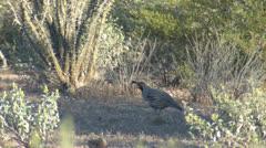 P02741 Gambel's Quail Feeding in the Sonoran Desert Stock Footage