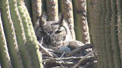 P02743 Great Horned Owl Nest in Saguaro Cactus in Desert Stock Footage