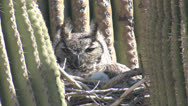 Stock Video Footage of P02743 Great Horned Owl Nest in Saguaro Cactus in Desert