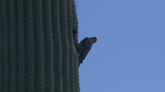 P02745 Gila Woodpecker on Cactus Stock Footage