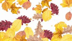 Falling leaves as background video (with alpha) Stock Footage