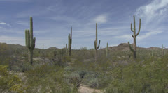 P02715 Saguaro Cactus in the Desert Southwest Stock Footage