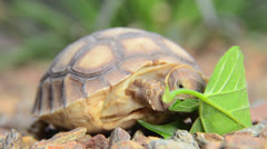 Baby African Spurred Tortoise Stock Footage