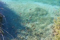 Small fish shoal in azure lake Stock Photos