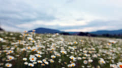 Flowering camomiles Stock Footage