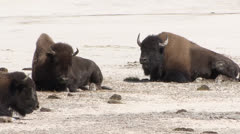 Yellowstone National Park Bisons 01 Stock Footage