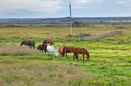 Horses in a green field of grass at iceland rural landscape Stock Photos