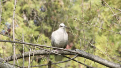 Collared dove on branch / Streptopelia decaocto Stock Footage