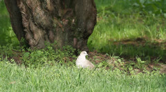 Collared dove on the ground / Streptopelia decaocto Stock Footage