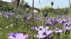 Anemone field with bees Stock Footage