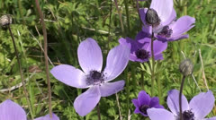 Anemone flowers close up Stock Footage